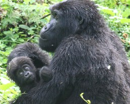 Gorilla final