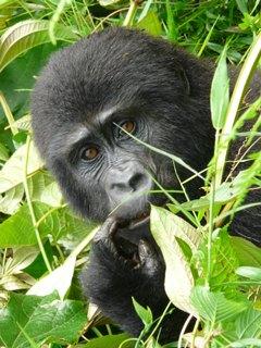 Gorilla2_final
