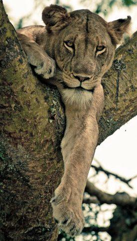 Lion2_tree_final