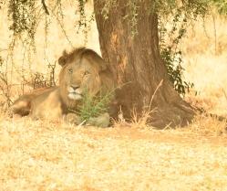 Lion Kidepo2