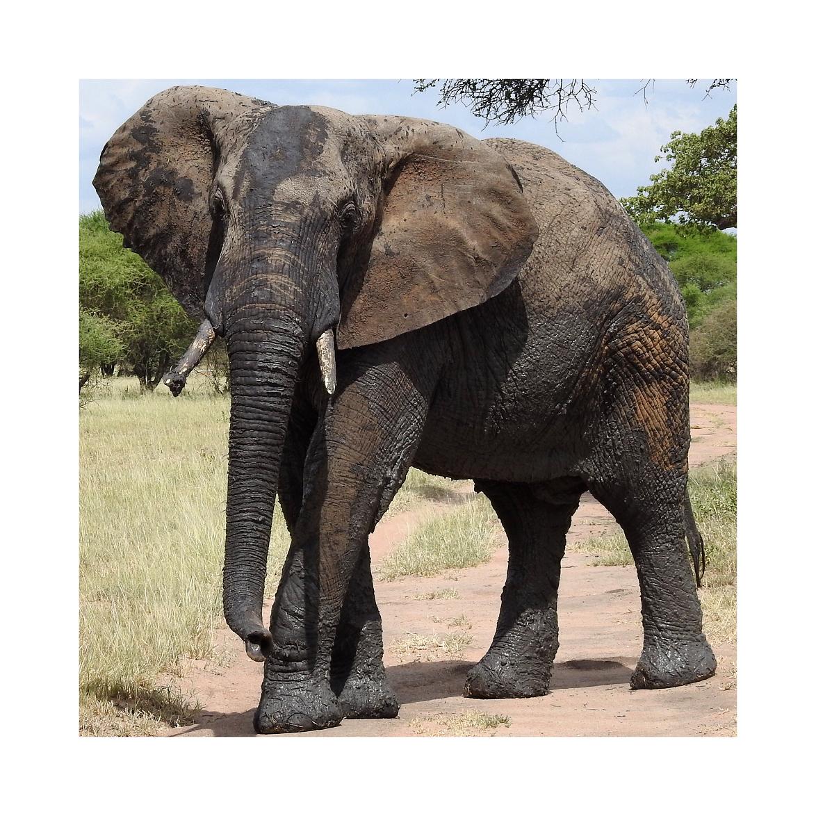 Elephant in Kuro' Tarangire National Park