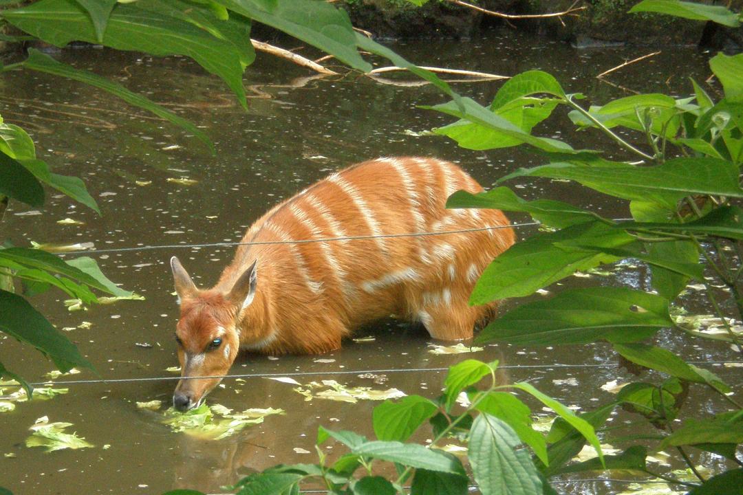 Sitatunga Antelope hiding in a swamp