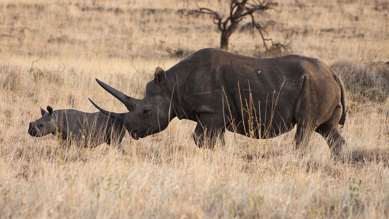 Lewa black rhino by Stefan Menzi 24072014