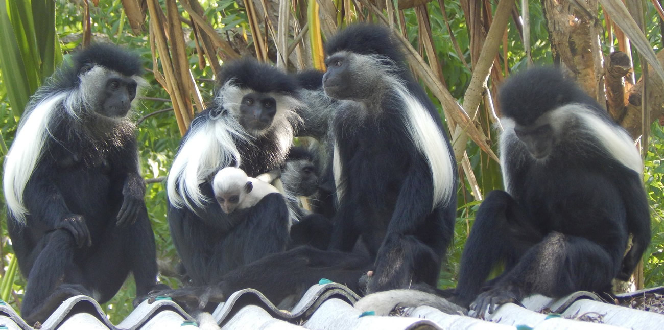 colobus conservation kenya