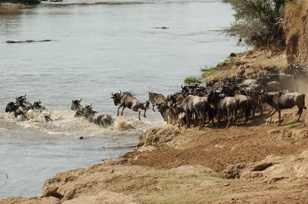 wildebeest migration.jpg