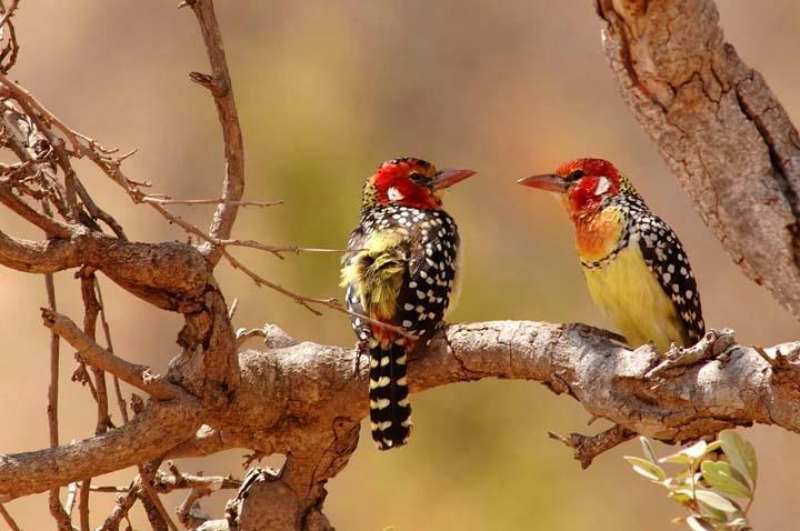 Barbet Birds