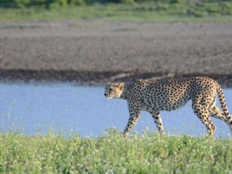 Grumeti Cheetah