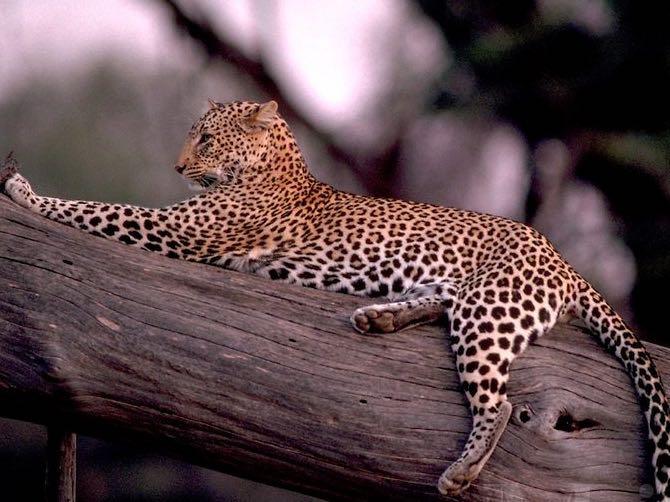 Ndutu Leopard