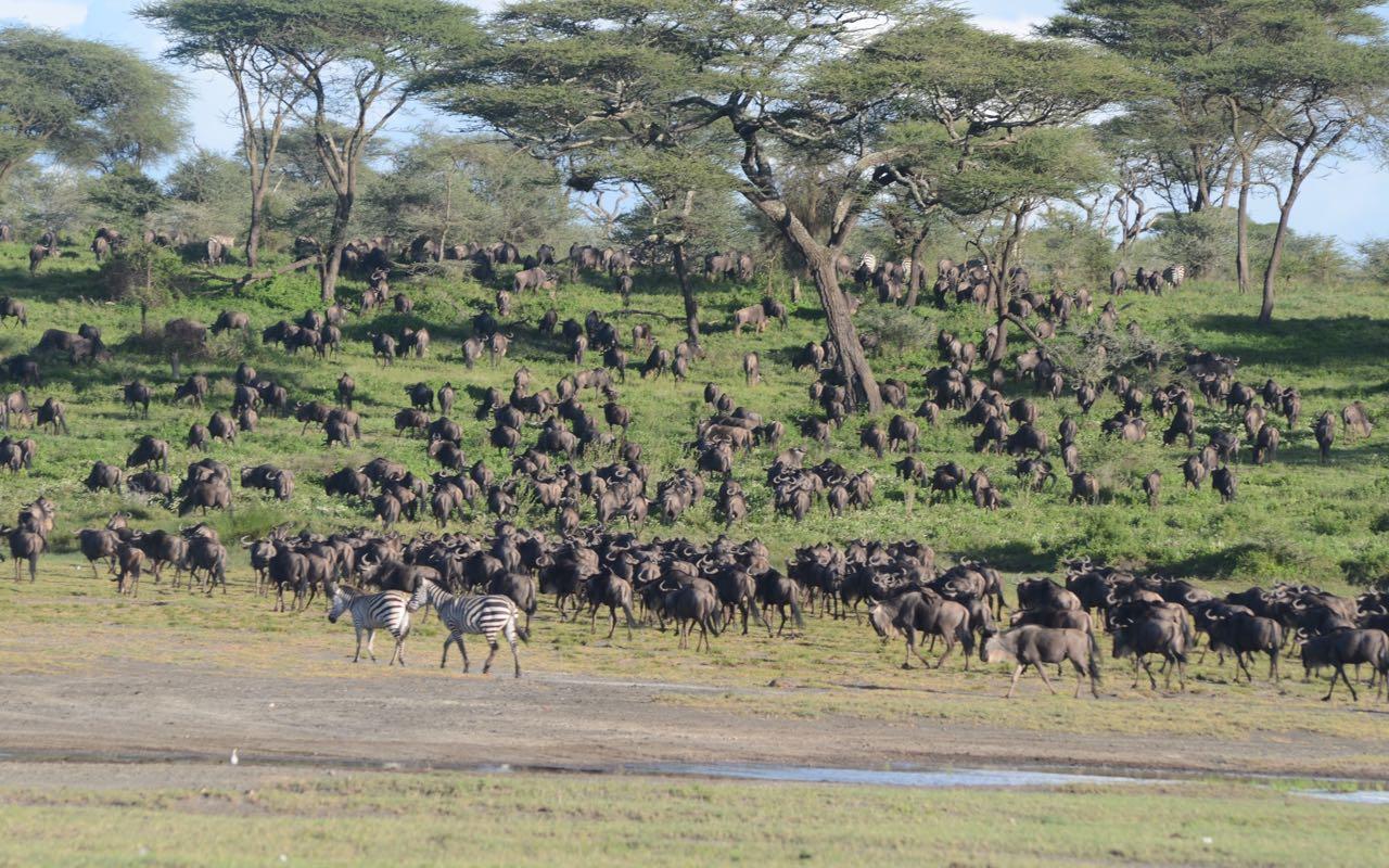 Ndutu Migration