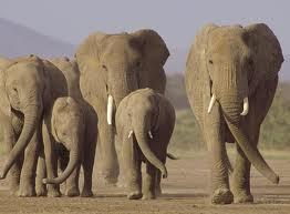 manyara elephant.jpg
