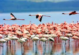 manyara flamingo.jpg