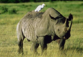 rhino-with-bird