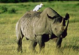 rhino-with-bird