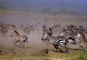 zebra-running